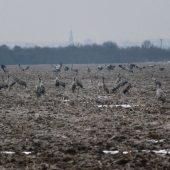 Welcoming of cranes Dolný Zemplín Slovakia - 1