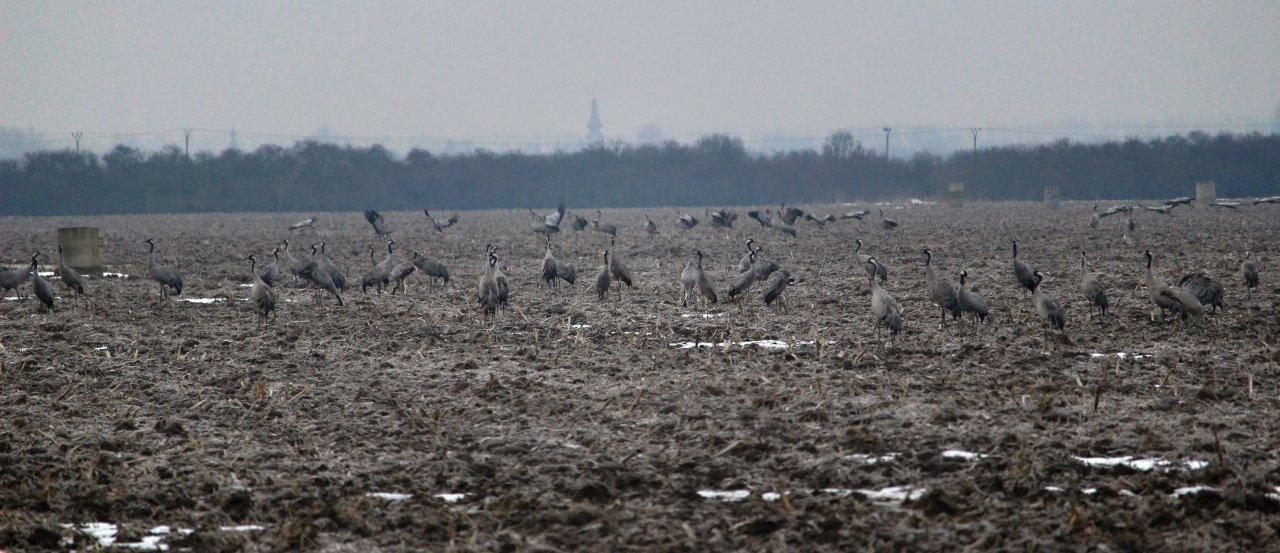 Welcoming of cranes Dolný Zemplín Slovakia – 1