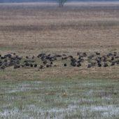 Welcoming of cranes Dolný Zemplín Slovakia - 6