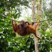 Semenggoh Nature_Reserve, Malaysia