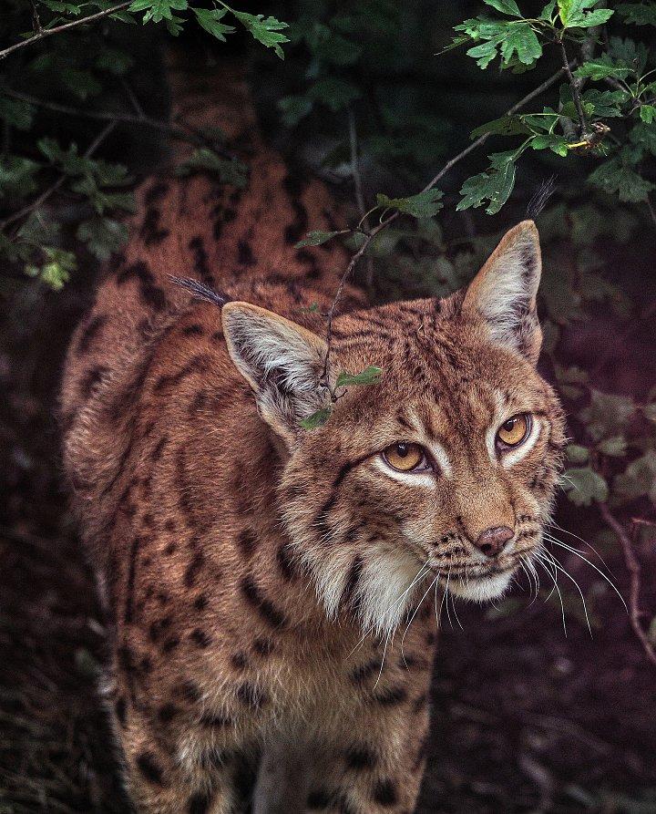 Lynx Lynx – Eurasian lynx – one of Europe's largest predators, Zoo Kosice, Slovakia