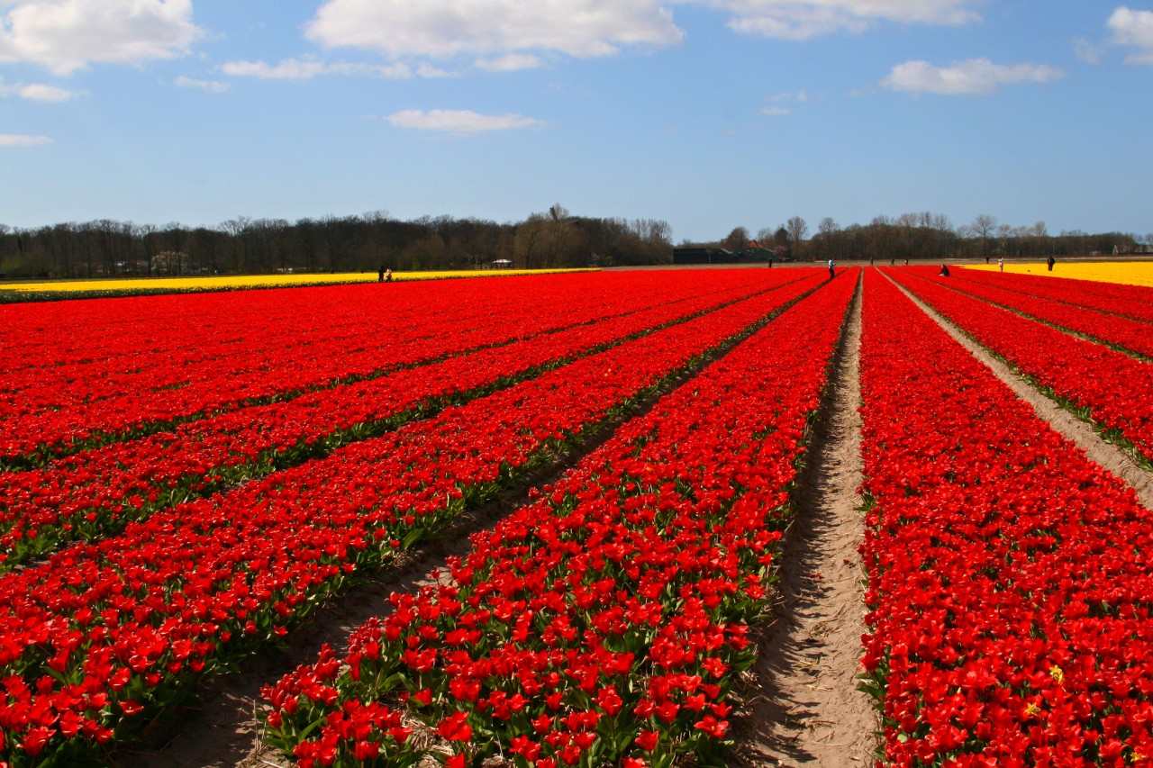 Lisse, tulip fields, Best Places to Visit in the Netherlands