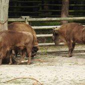 Bison Show Farm, Isle of Usedom, Poland