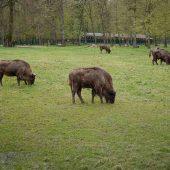 European Bison Reservation, Poland